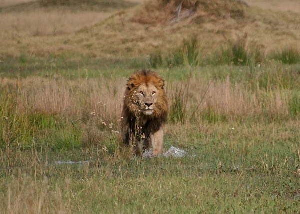 Male Lion by AnneMetzger