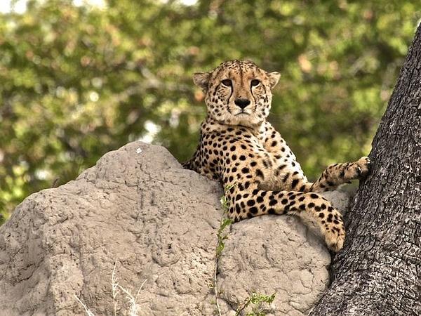Cheetah by AnneMetzger