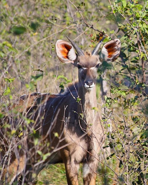 Young Male Kudu by AnneMetzger