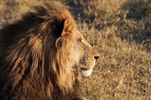 Male Lion by AnneMetzger