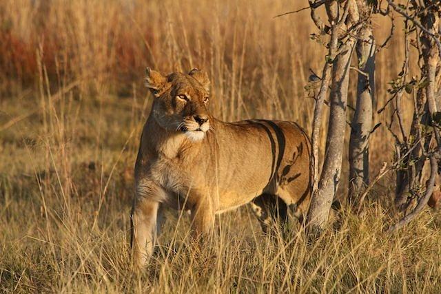 Subadult Male Lion