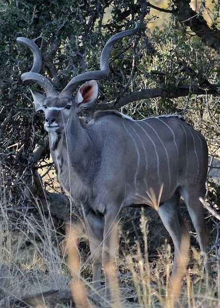 Mature Male Kudu by AnneMetzger