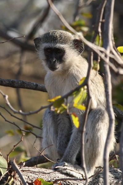Vervet Monkey by AnneMetzger