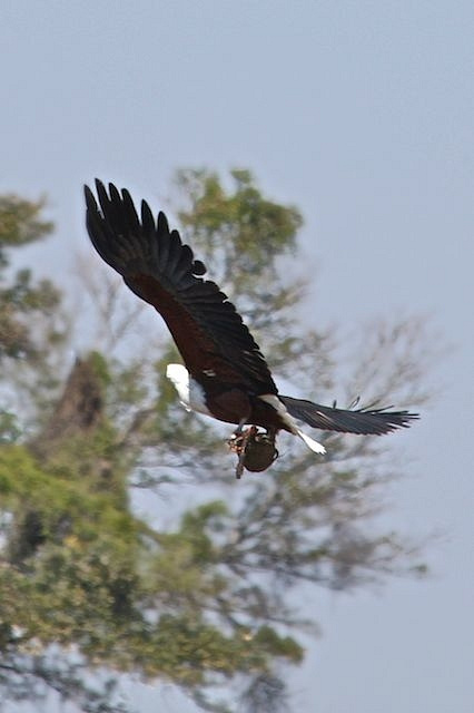 African Fish Eagle with a catch