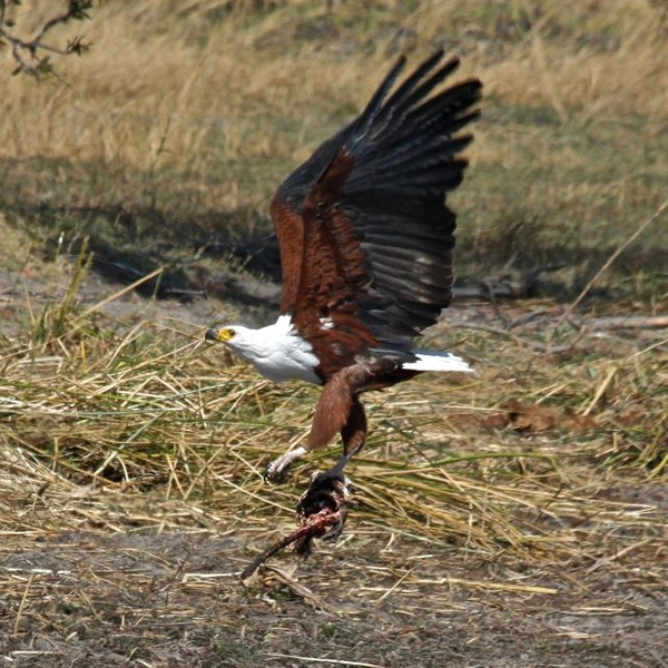 African Fish Eagle with Catch by AnneMetzger