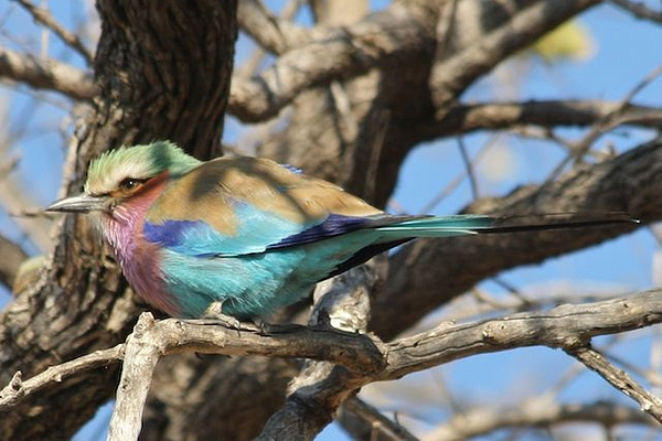 Lilac Breasted Roller by AnneMetzger