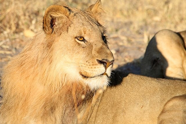 Subadult Male Lion by AnneMetzger