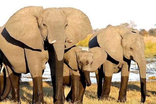 Elephant Breeding Herd by AnneMetzger