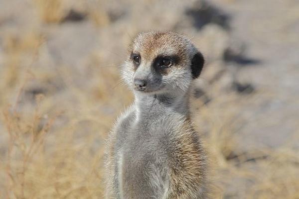 Meerkat by AnneMetzger