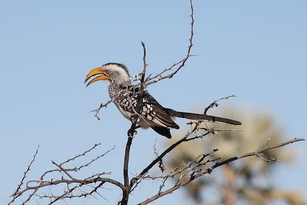 Yellow Billed Hornbill by AnneMetzger