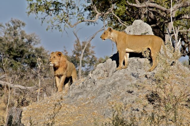 Mother and Young Adult Male Lion