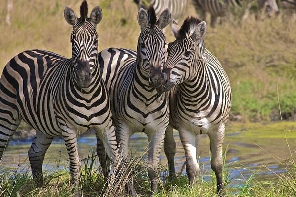 Burchell's Zebra by AnneMetzger