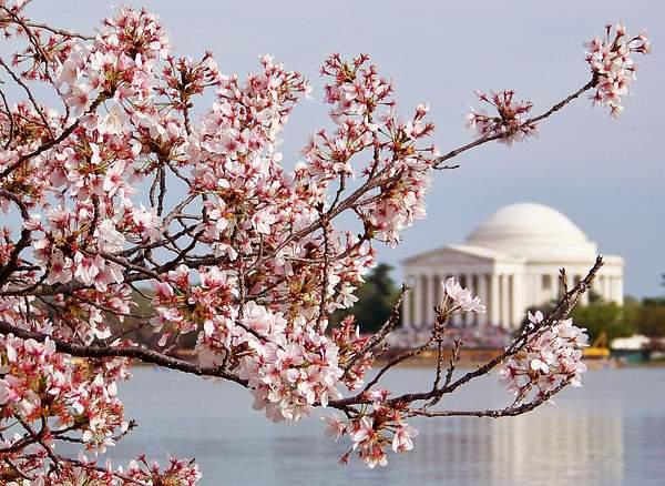 Cherry Blossom Jefferson Mem