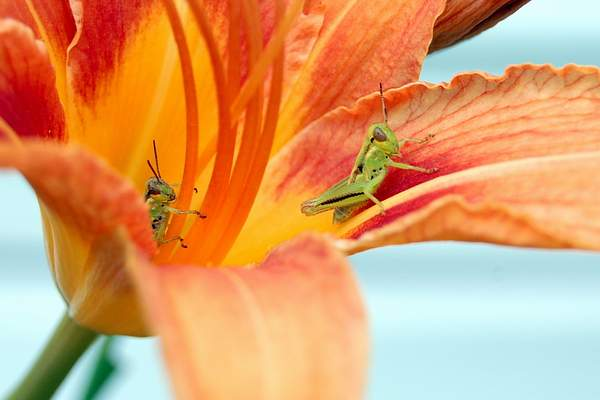 Grasshoppers on Lily