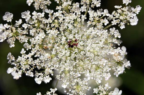 Queen Ann's Lace I