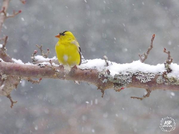 Spring Snowstorm Birds, 2016 by amysuephoto by amysuephoto