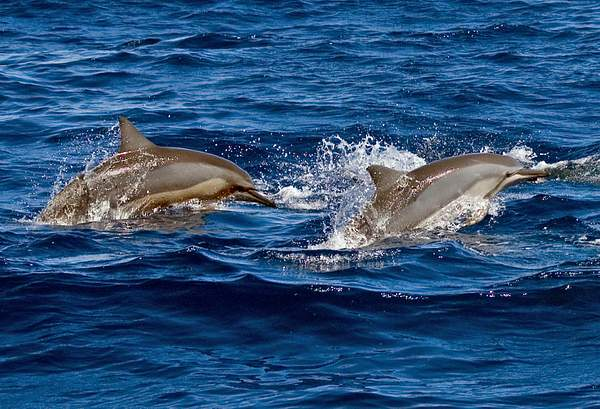 Spinner_Dolphins (Stenella_longirostris) off Maui, Hawaii 222