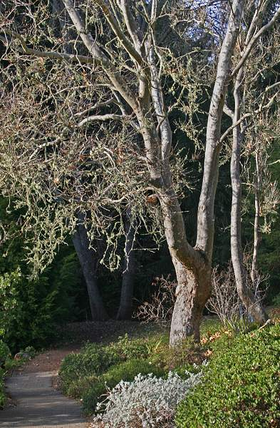 Western Sycamore (Platanus Racemosa) in Winter, Tilden Regional Park, Berkeley, Calif. 222