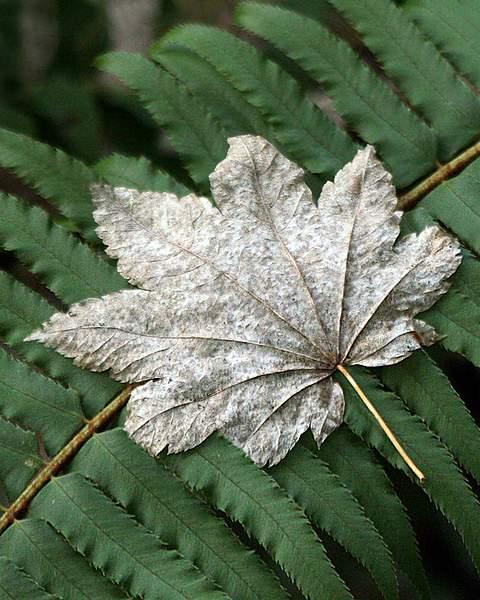 Leaf of a Bigleaf Maple (Acer macrophyllum) in Winter on Sword Fern (Nephrolepis cordifolia) in the Hoh Rainforest 222