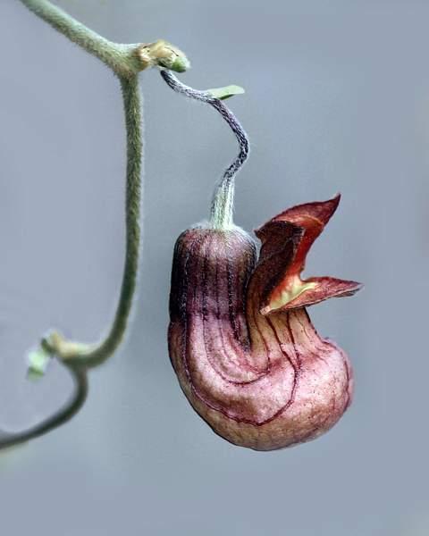 Flower of the California Pipevine (Aristolochia californica), Tilden Regional Park, Berkeley, Calif. 222
