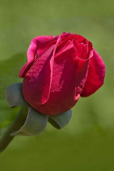 Bloom of the Souvenir de Claudius Denoyel Hybrid Tea Rose 222