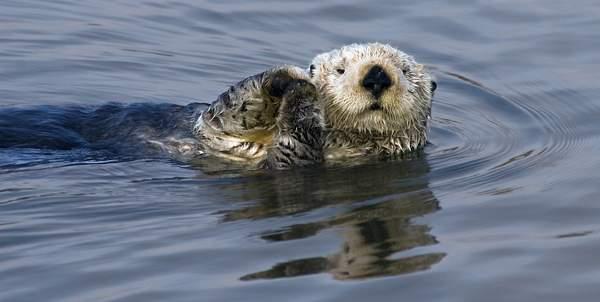 Sea Otter_(Enhydra_lutris), Elkhorn Slough National Wildlife Refuge near Moss Landing, California