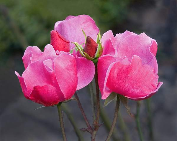 Five Pink Rose, Oakland Rose Garden 222