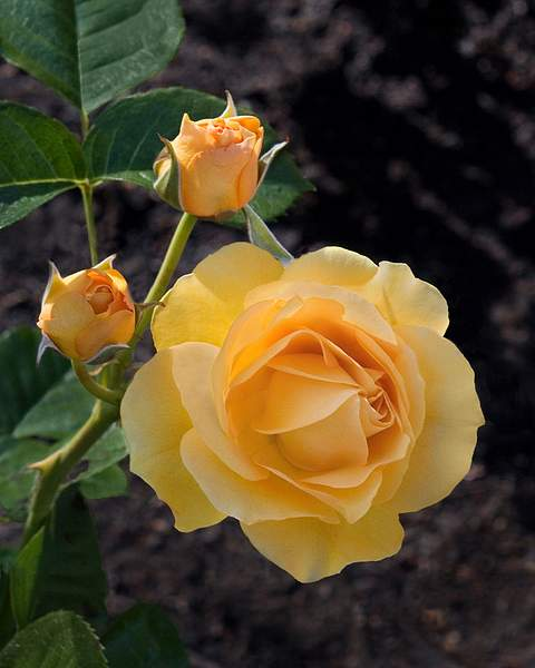 Yellow Rose and Two Buds, Oakland Rose Garden 222
