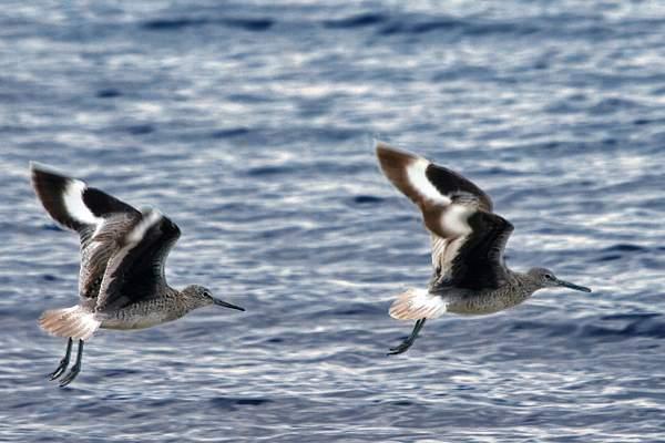 Sandpipers in Flight at Lake Tahoe