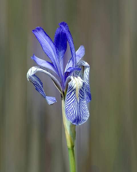 Blue Iris in a Sierra Meadow 222