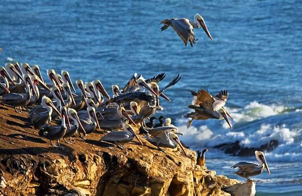 Pelicans Taking Flight, ©2010 Tom Debley 222