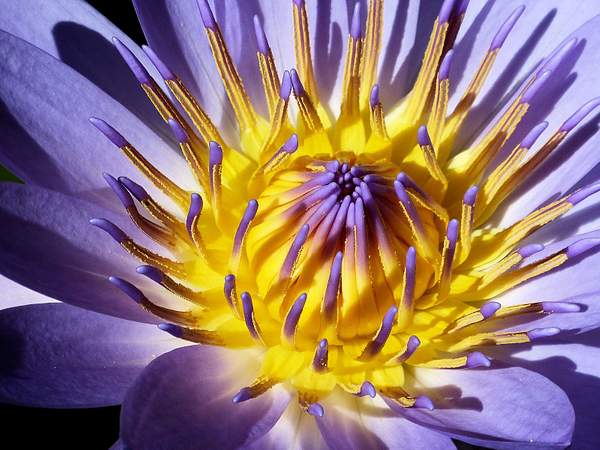Water Lily, Sue Salisbury Hawaii