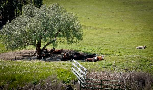 Resting Cows