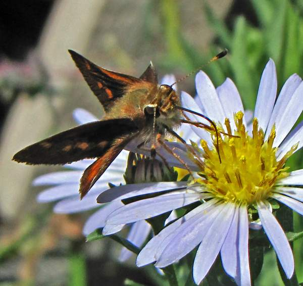 Aster_chilensis_x_(7) 222