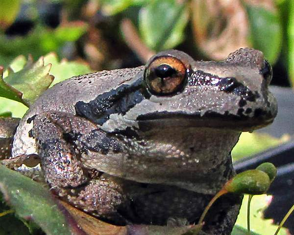 Pacific_tree_frog_at_nursery_x_(4) 222