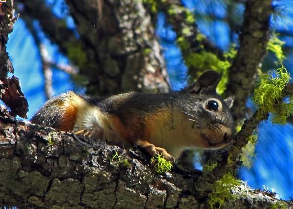 Douglas_squirrel_(Tamiasciurus_douglasii)_-_Trinity_Alps