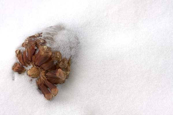 PineCone in Snow 222