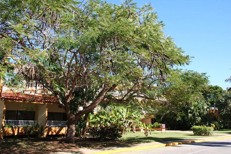 Cuba 168 Der beruehmte Affenbrotbaum