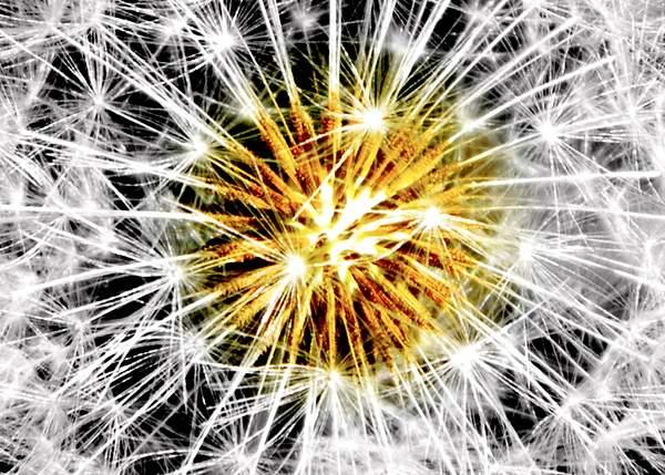 boom goes the dandelion