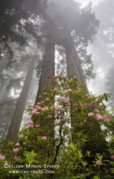 Rhodies and Redwoods