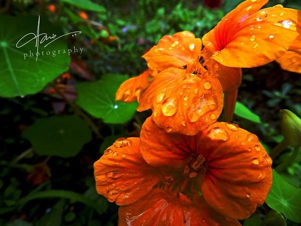 flower-drops