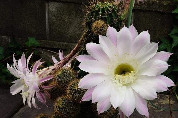Ashikaga Cactus Flower by RicThompson