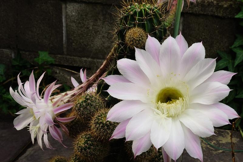 Ashikaga Cactus Flower