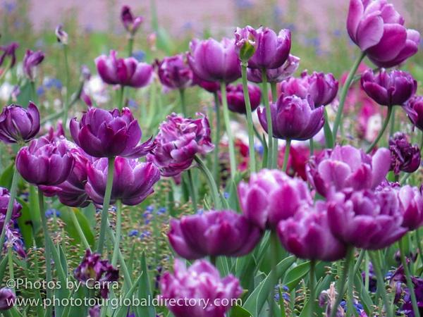 F Helsinki tulips_ by Carra Riley