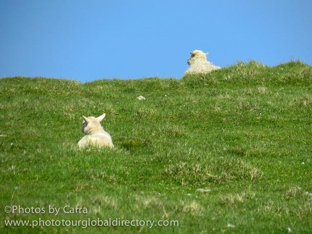 Shetland lambs listening