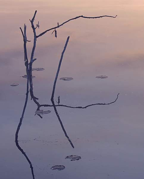 Evening reflection, branches in a pond